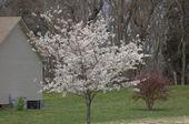 Den Hausgarten anbauen: Gärtnern in der heimischen Landschaft: Yoshino Cherry (Prunus …   – Garden Patio Trees in Containers