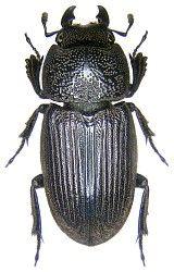 Aegus Australische Region Australische Tiere Insekten