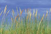Wandfolie »S. Herppich: Strandhafer im Sommer«
