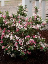 Czechmark Trilogy Weigela Packs A Lot Of Flower Power Into A Height Of Only 3 3 1 2 Feet Vivid Tones Beautiful Flowers Garden Flower Landscape Garden Shrubs