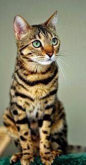 Top 5 Most Expensive Cat Breeds – Animals  – Pet  ○ ○ ○