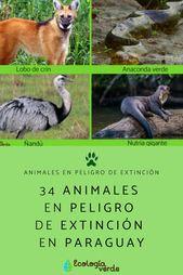 34 Animales En Peligro De Extinción En Paraguay Nombres Y Fotos Animales En Peligro De Extincion En Peligro De Extincion Animales