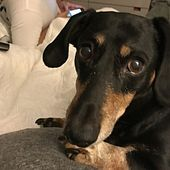 Louisville Ky Dachshund Meet Tj A Pet For Adoption With