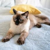 Die aktuellsten Bilder Ragdoll Katzen Kätzchen Beliebt
