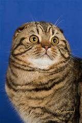 Thissel Down Scottish Fold Cats Scottish Fold Cat Kittens Cat Scottish Fold Scottish Fold