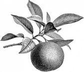 55 Ideen Orangenbaum Illustration schwarz und weiß   – REFERENCE