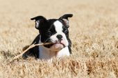 Winnie the Boston Terrier Puppy – Garrrrrrrry