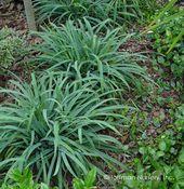 Carex laxiculmis 'Hobb'