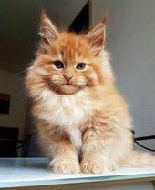 18 Maine Coon kitties waiting to grow into giants – We love …