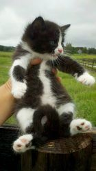 I Found Baby Whiskers On Ragamuffin Cat Ragamuffin Kittens Cute Baby Animals