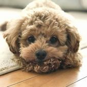 Easiest Dog Breed To House Train Dog Breeds Puppies Poodle Puppy