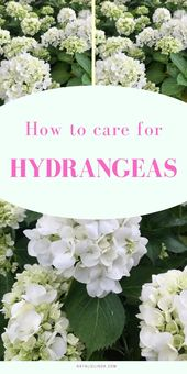 Learn how to Plant and Develop Hydrangeas in Your Yard
