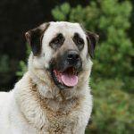 Anatolischer Hirtenhund Anatolischer Hirtenhund Hirtenhund Hunde