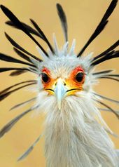 25 Secretary Bird Facts (Sagittarius serpentarius) Africa's Snake Stomper