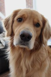 Pinterest: julio   – Golden Retriever
