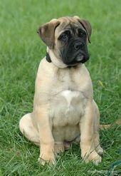 Bullmastiff-Puppy.jpg   – Bulldoggenwelpen