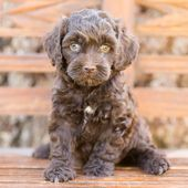 Chocolate Australian Labradoodle Puppy  – Dogs