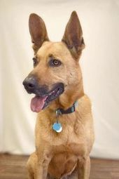 Fort Dodge Ia Charlie Is A Male Belgian Malonois For Adoption Who Needs A Loving Home Kitten Adoption Pets Dog Adoption