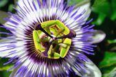 Pasiflora o Flor de la Pasión   – Jardineria y plantas