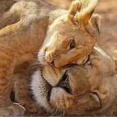 15 wunderschöne Fotos von Lion Cubs, die Sie nicht verpassen dürfen