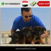 Egypt Cairo German Shepherd Puppies For Sale Pet4sell Puppies For Sale Dogs For Sale German Shepherd Puppies