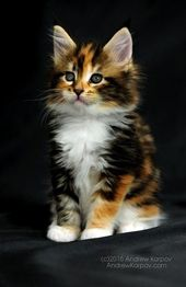 Cats Breeds Calico Beautiful 16+ Ideas For 2019 – kittens cats