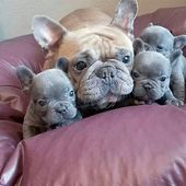 Happy Love Day from this loving family!! @lavishfrenchbulldogs #frenchie #bouled…  – Französische Bulldogge -French Bulldogs