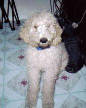 Adoption For Standard Poodle Rescue Dog For Sale Standard Poodle