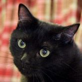 Animal Welfare League Of Montgomery County Animal Welfare League Cats All Black Cat