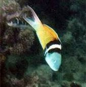 Wrasse de cabeza amarilla – Bing Images   – OCEAN'S BEAUTY & BOUNTY