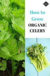 Celery isn't the easiest vegetable to grow organically, so follow this gardeni…