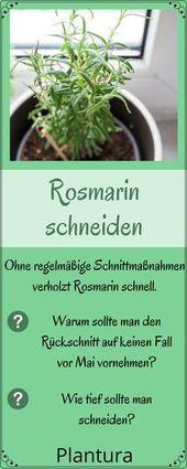Rosmarin schneiden: Wann und wie zurückschneiden?