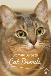 Ultimate Guide to Cat Breeds – Australian Mist Cat Breed