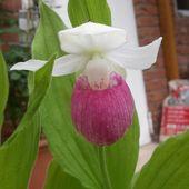 orchid  orchidee  gardenorchid  gartenorchidee  cypripedium  white  weiß  rosa …