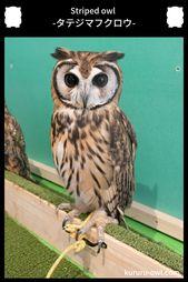 タテジマフクロウ ウサギフクロウ Striped Owl フクロウ ミミズク ウサギ