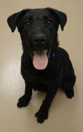 1 26 Petango Com Meet Bones A 4 Months 3 Days Retriever Labrador Mix Available For Adoption In Fairfield Ia Con Labrador Mix Dog Adoption Doggie Style