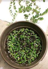 Häufige Probleme beim Anbau von Senecio Rowleyanus und wie man eine sterbende Perlenkette rettet   – pearl cactus plant