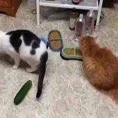 Gurken sind zu gefährlich für Katzen, seien Sie vorsichtig   – Video