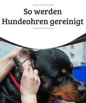 So werden Hundeohren gereinigt — Deine Tiere