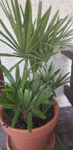 Nadelpalme Rhapidophyllum Hystrix In 2020 Winterharte Palmen Palmenarten Palmen