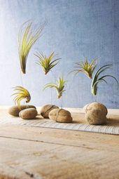Tillandsien – Cultive las plantas de aire adecuadamente y póngalas de manera creativa   – pflanzen und blumen / plants and flowers Garten / Garden
