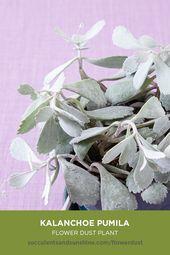 """Kalanchoe pumila """"Flower Dust Plant"""""""