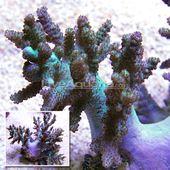 Sinularia Finger Leather Coral Indonesia Sinularia Sp Saltwater Fish Tanks Soft Corals Reef Aquarium