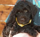 Crew Australian Labradoodle Puppies For Sale In Austin Texas