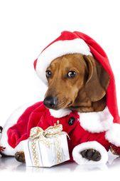 Christmas Pets Dachshund In Santa Hat And English Bulldog
