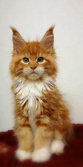 Schöne orange Kätzchen Maine Coon-Katze. #kitty #kitten #kittycat #mainecoon #cat …