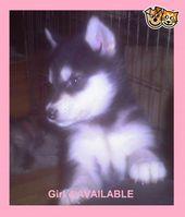***KC reg Alaskan Malamute puppies*****   Manchester, Greater Manchester   Pets4…  – pets