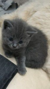 Russian Blue Cats For Sale West Yorkshire Russian Blue Cats For Sale Russian Blue Cat