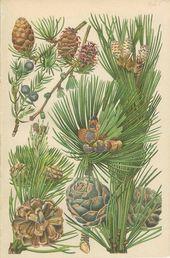 Nadelbaum Latschenkiefer Tanne Wacholder Tannenzapfen 1906 Antike Franzosische Botanische Buch Platte 1 Cou In 2020 Country Cottage Decor Library Decor Antiques