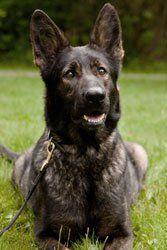 Litter of 7 German Shepherd Dog puppies for sale in STILWELL, OK. ADN-